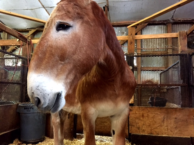 One of Palmetto Carriage's mules. Isn't he cute?